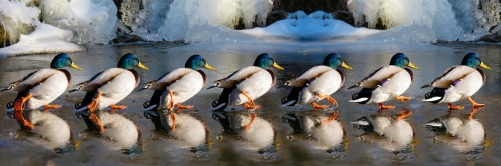 ducks-2000586_1920